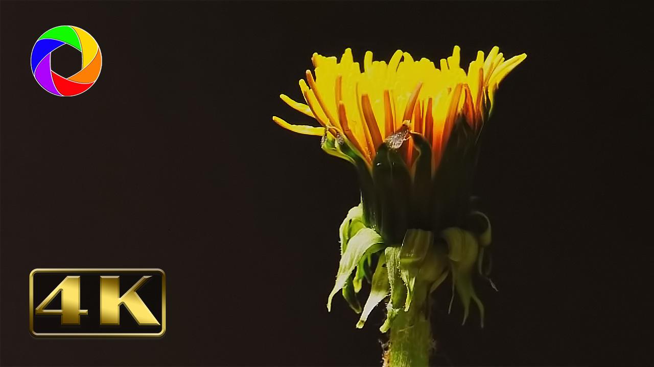 Darau įvairius video filmus. Vienas iš mano darbų - video filmas atsipalaidavimui - Kiaulpienės augimas ir žydėjimas.